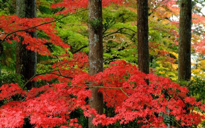 Осень, клен, природа, лес, парк, природа, autumn