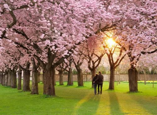 Сакура, Sakura, цветение, весна, природа