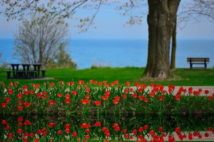 Цветы, тюльпаны, пейзаж, отражение, озеро, Онтарио