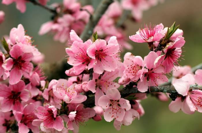 Яблоня, ветка, цветенени, весна, bright, spring