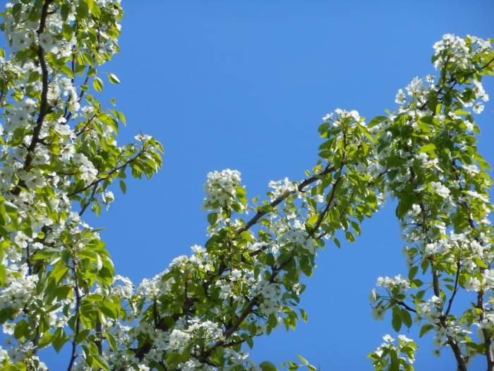 Природа, цветы, груша, небо, весна, nature, pear