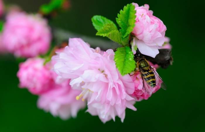 Ветка, цветы, весна, насекомое, оса, макро