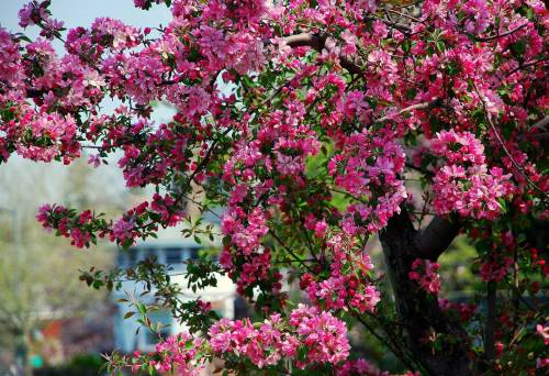 Яблоня, цветение, дерево, весна, spring