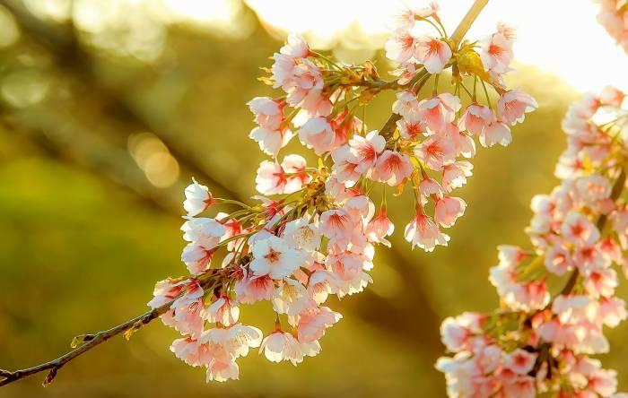 Весна, сакура, ветка, цветы, красота, природа
