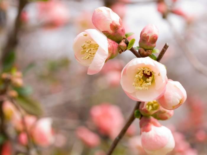 Цветение, вишня, ветка, сакура, розовый, весна