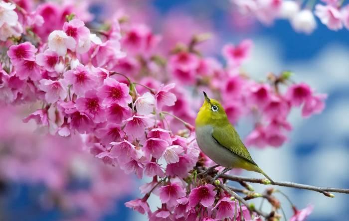 Весна, сакура, ветка, цветы, красота, птица