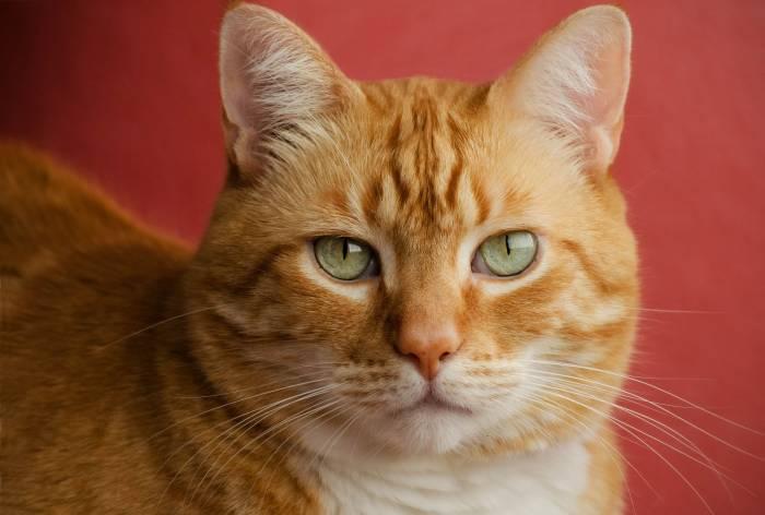 Кот, рыжий, красавец, красный фон, cat, animal
