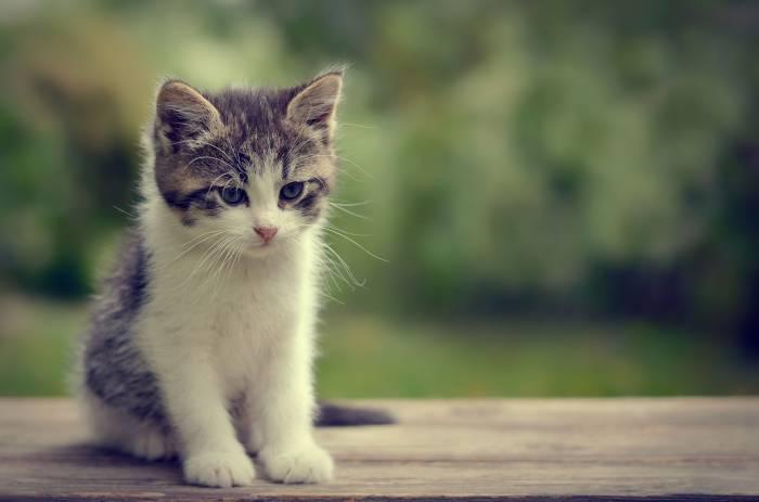Котенок, взгляд, боке, мордочка, животное, kitten,