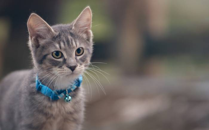 Котёнок, серый, ошейник, животное, кот, kitten