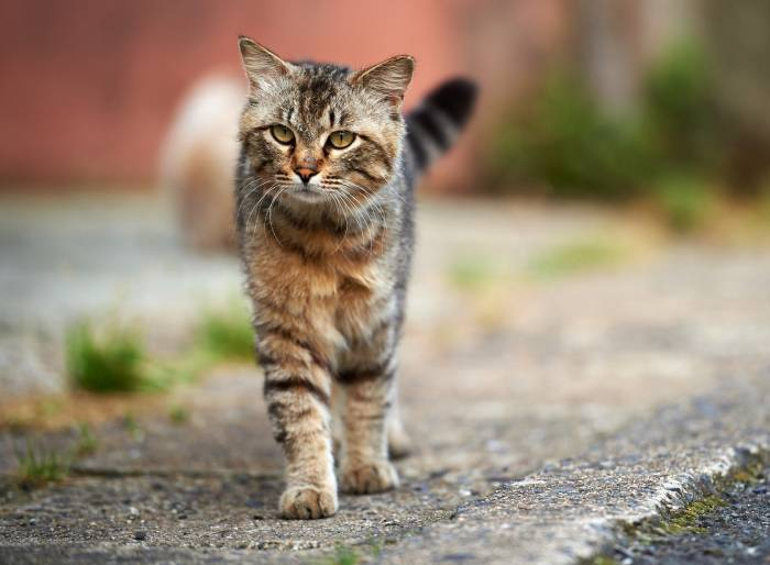 Кот, серый, полосатый, кошка, улица, асфальт, cat