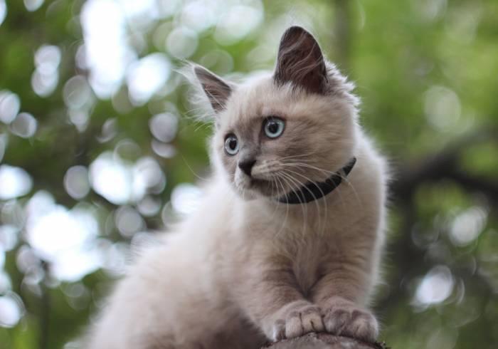 Кошка, котёнок, сиамская, животное, боке, cat