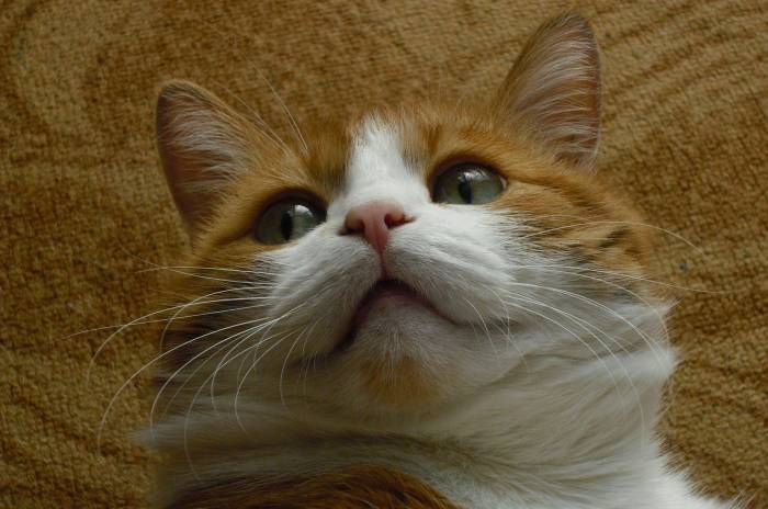 Котик, рыжий, моська, животное, кот, kitten, cat