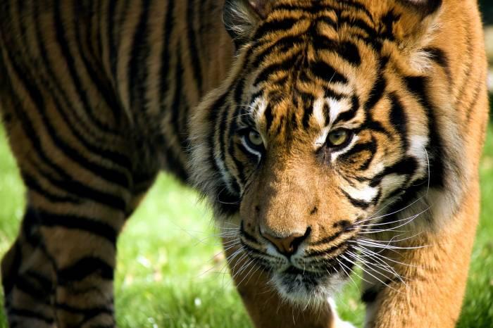 Хищник, дикая кошка, морда, тигр, полоски, взгляд