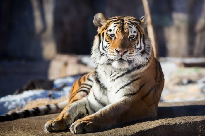 Тигр, дикая кошка, хищник, отдых, животное, tiger