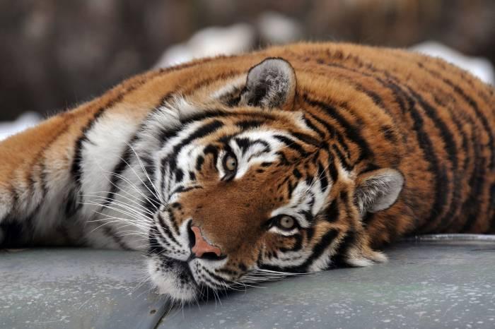 Тигр, амурский, дикая кошка, морда, хищник, tiger