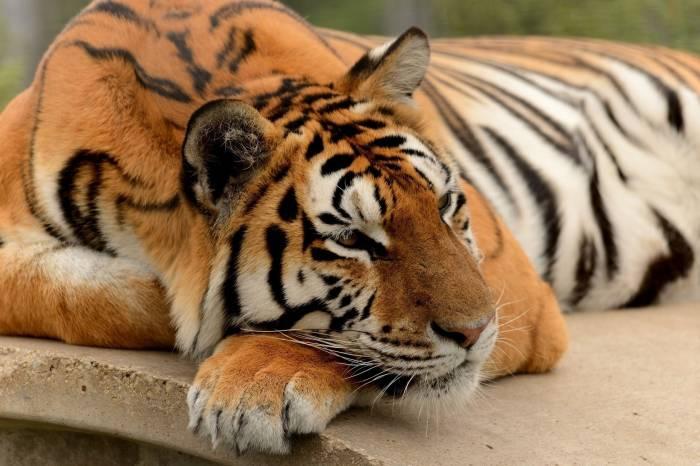 Тигр, животное, tiger, дикая кошка, отдых, морда