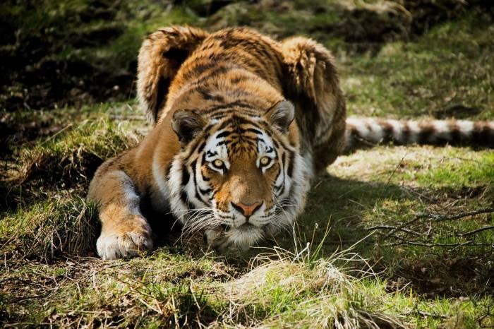 взгляд, полоски, морда, тигр, tiger, хищник, поза