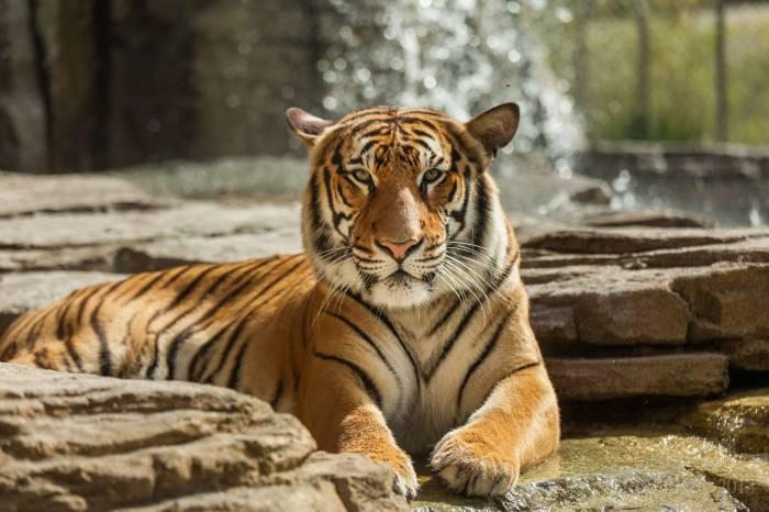 Тигр, дикая кошка, хищник, морда, отдых, tiger