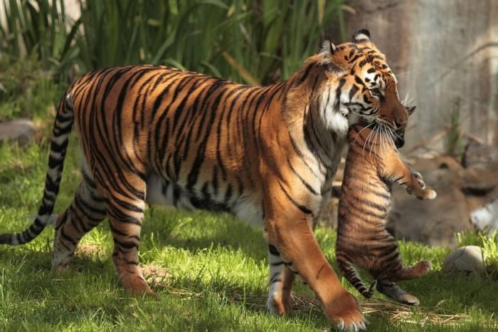 Тигрёнок, тигр, животное, хищник, tiger, animal