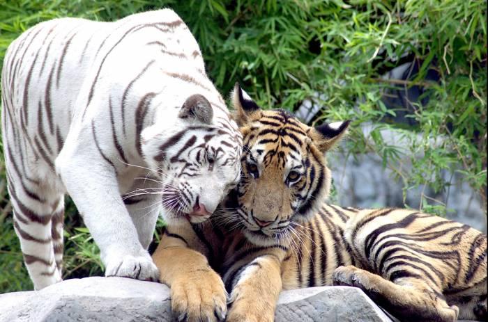 Белый тигр, тигры, животные, хищники, white tiger