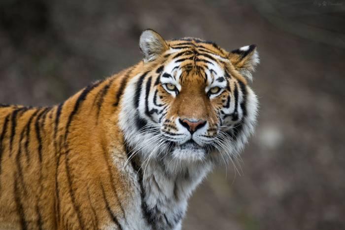 амурский тигр, тигр, дикая кошка, морда, хищник