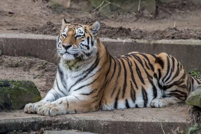 Тигр, дикая кошка, лежит, отдых, животное, хищник