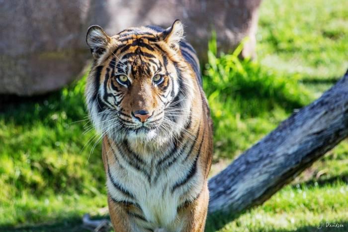 Тигр, дикая кошка, животное, хишник, tiger, wild