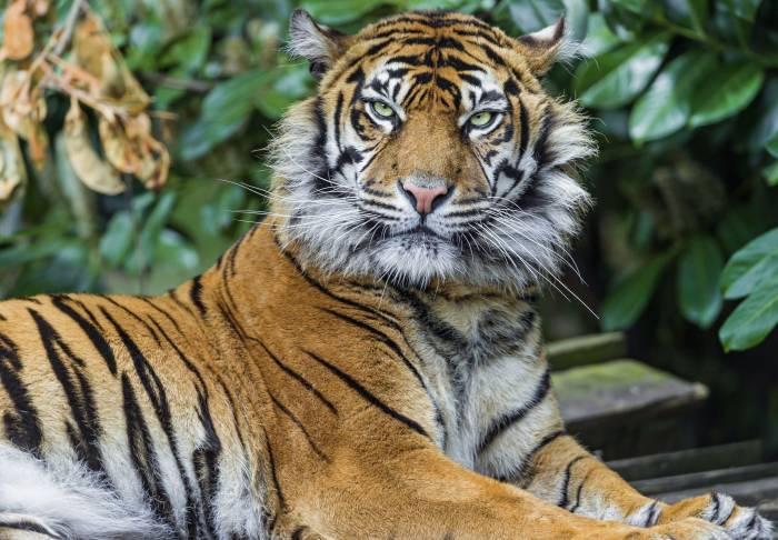 Тигр, хищник, взгляд, животное, tiger, predator
