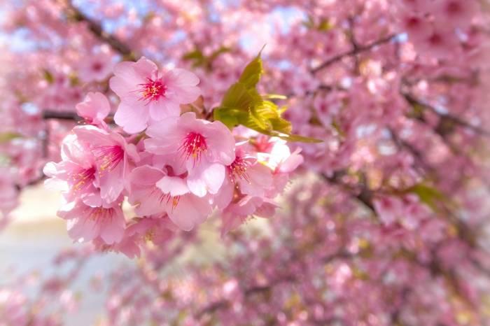 Сакура, цветение, весна, природа, ветка, sakura