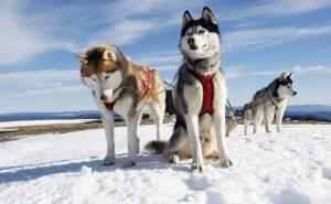 Упряжка собаки снег хаски sky dogs huskies