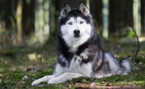 Животное собака хаски порода взгляд