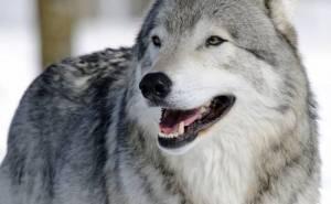 Волк морда портрет хищник wolf face