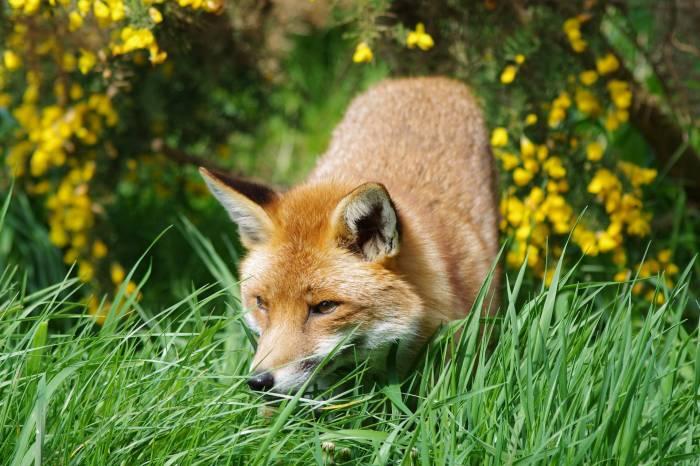 Лиса, лис, трава, лес, животное, рыжая, fox, grass