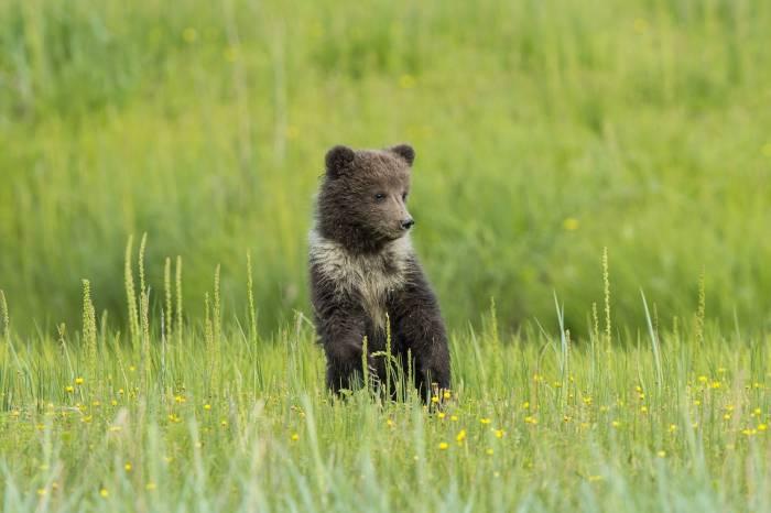 медвежонок, луг, цветы, трава, животное, bear