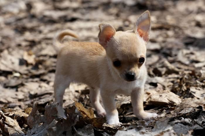 Собака, щенок, чихуахуа, leaves, dog, chihuahua