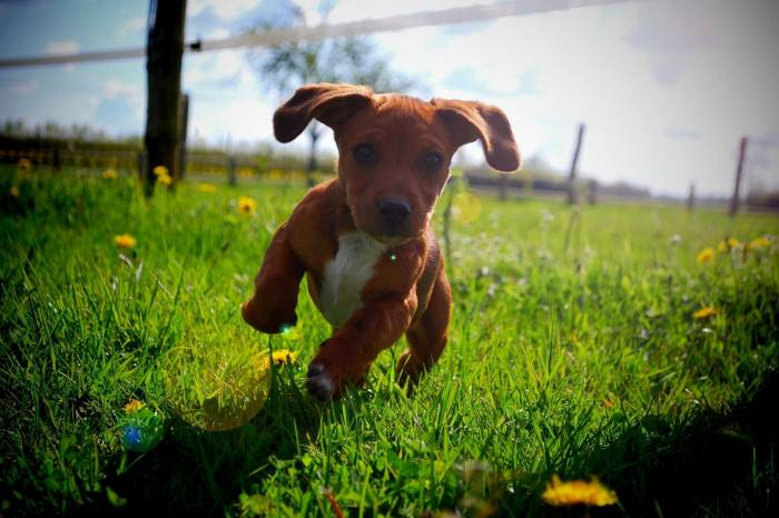 Щенок, лето, солнце, бег, puppy, summer, sun