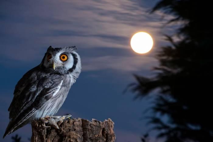 Сова, луна, ночь, птица, owl, moon, night, bird