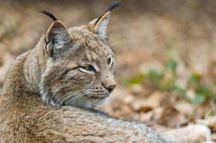 Рысь, дикая кошка, хищник, морда, отдых, мех, lynx