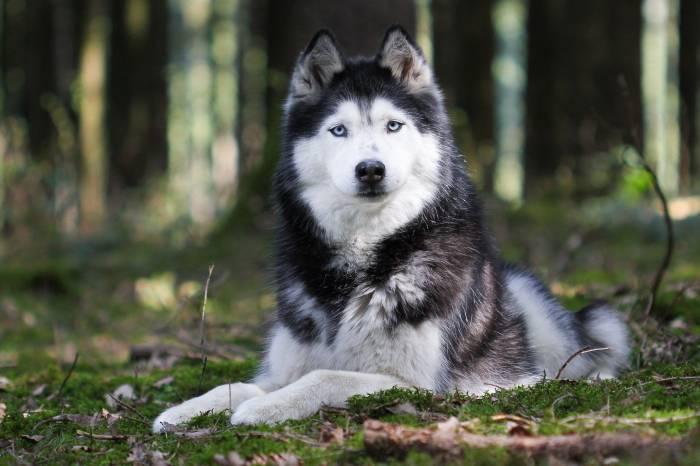 Животное, собака, хаски, порода, взгляд, уши, лапы