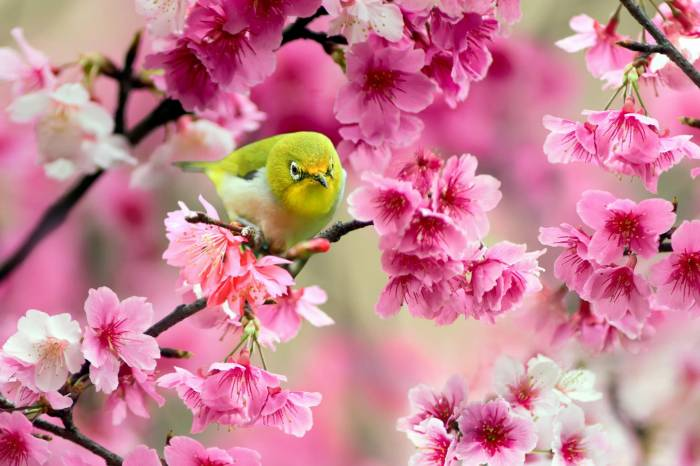 Птица, сакура, весна, цветы, ветка, sakura, желтая