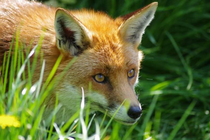 Лис, лиса, зверь, трава, fox, animal, grass