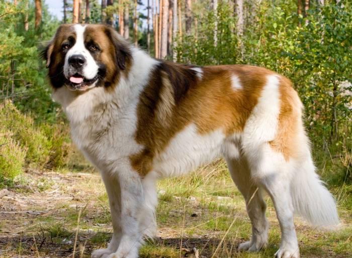 Собака, московская, сторожевая, лес, животное, dog