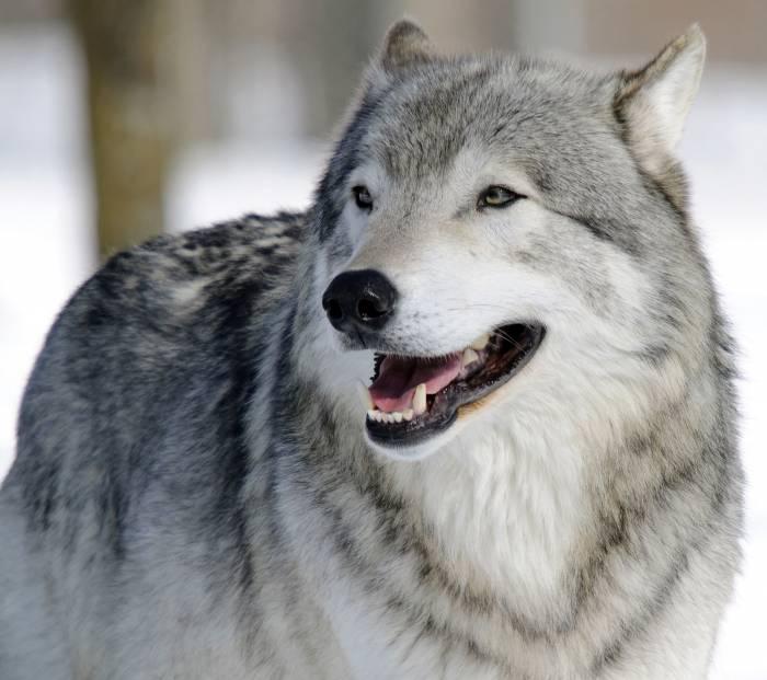 Волк, морда, портрет, хищник, wolf, face, predator