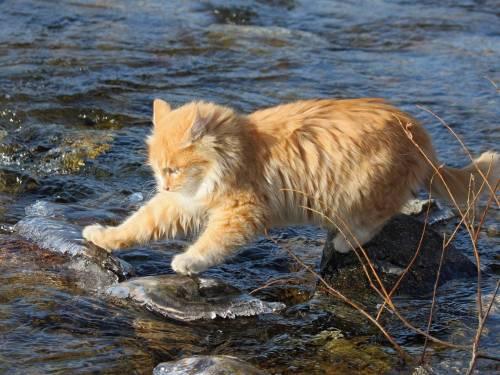 Рыжий кот, вода, камни