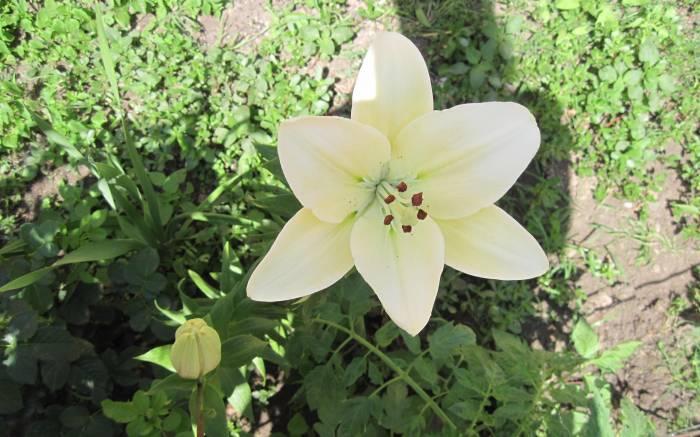 Лилия, цветок, белая, трава, Lily, flower