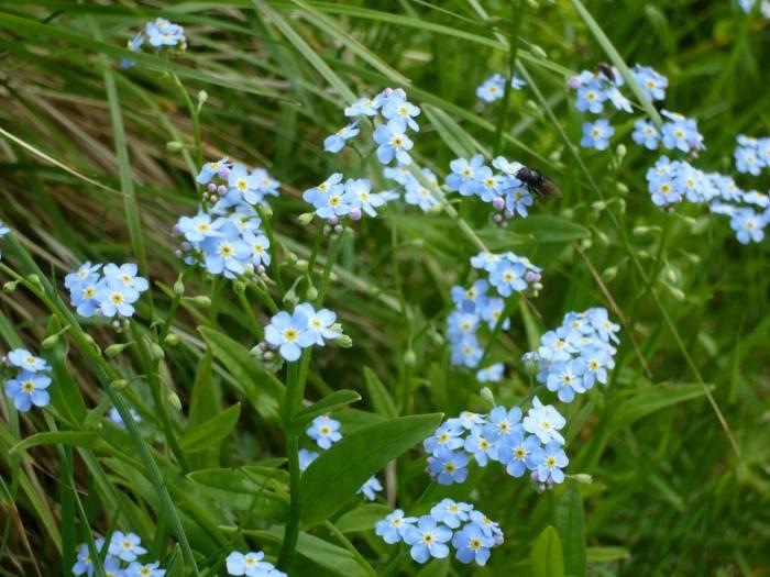 Незабудки, голубые, полевые, саяны, цветы