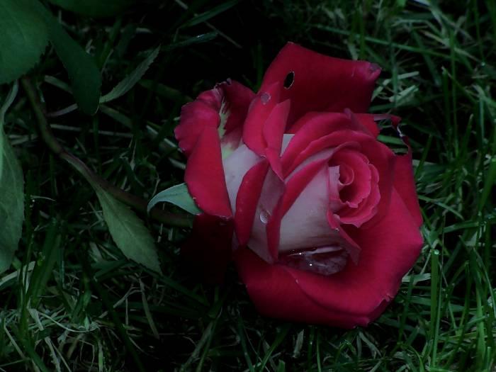 Роза, трава, цветок, шипы, Rose, grass