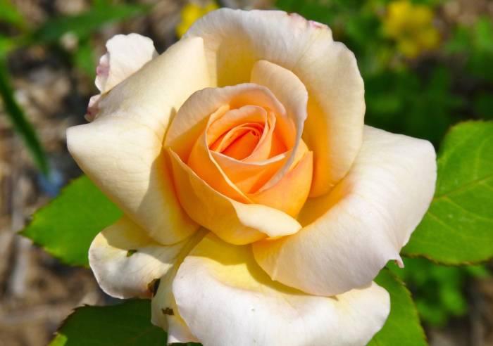 Кремовая, роза, цветок, rose, лепестки, макро