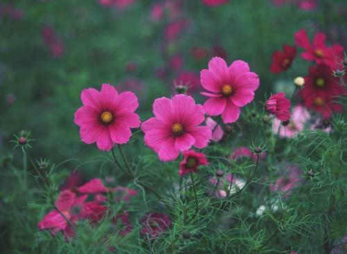 Красивые розовые, луговые, яркие цветы, flowers
