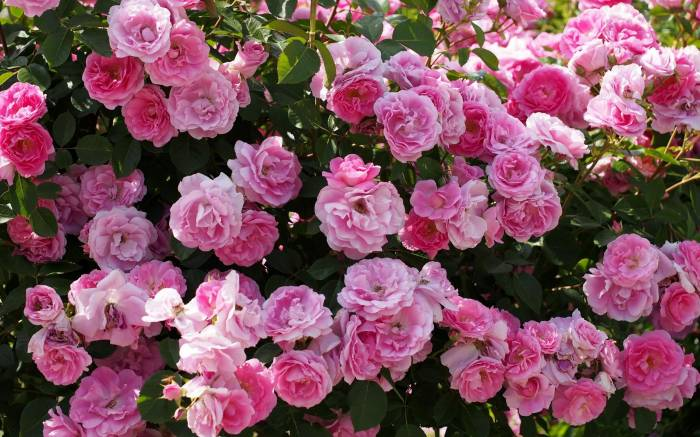 Розы, розовый куст, цветы, roses, rose bush